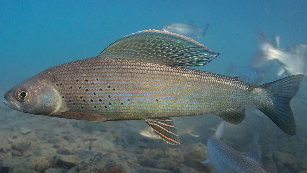 госпожа шумерском рыбы сибири фото изображение