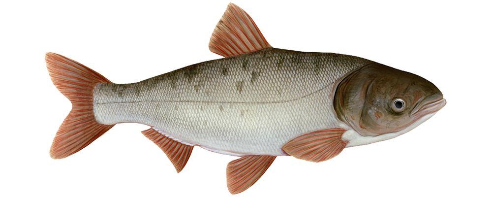 пресноводная рыба семейства карповых
