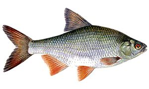 Рыба плотва обыкновенная семейство карповых